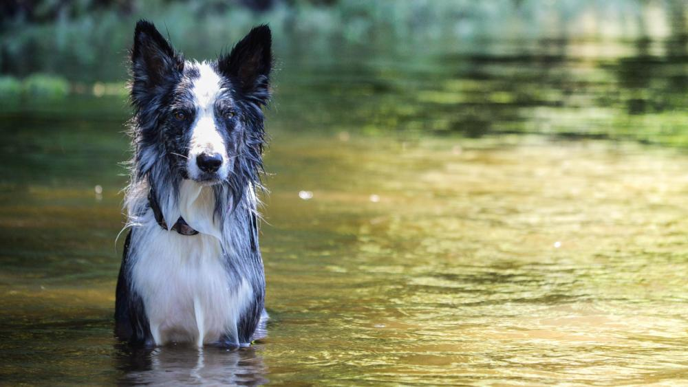 Border Collie in the river wallpaper