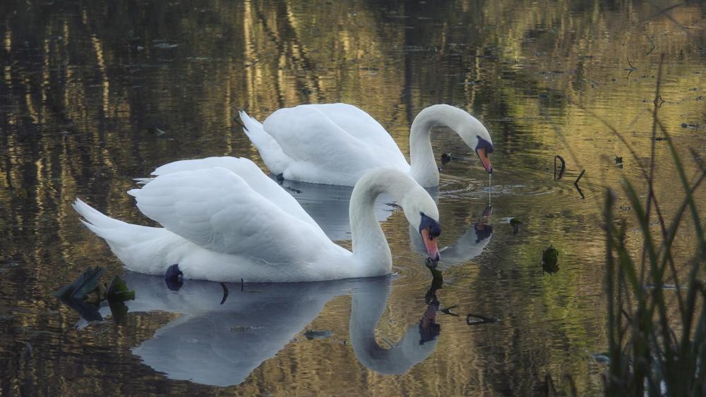 Two swans wallpaper