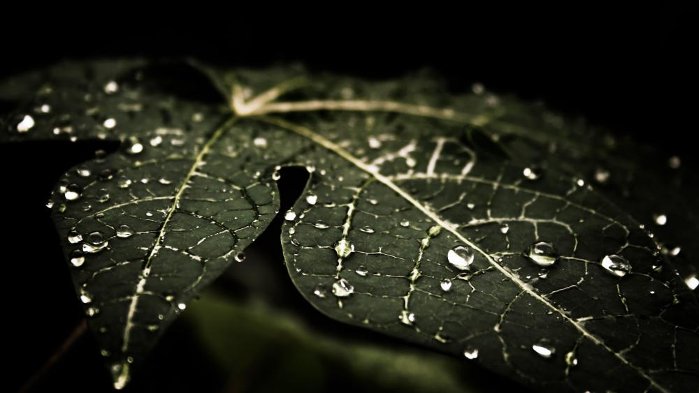 Water drops on a dark green leaf wallpaper