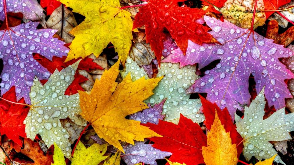 Colorful maple leaves  wallpaper