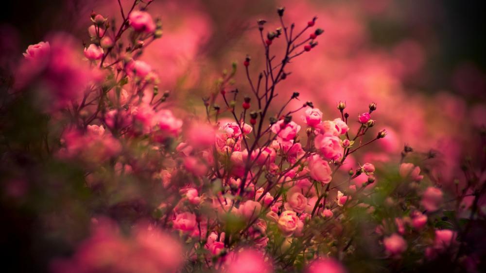 Floribunda rose in the garden wallpaper