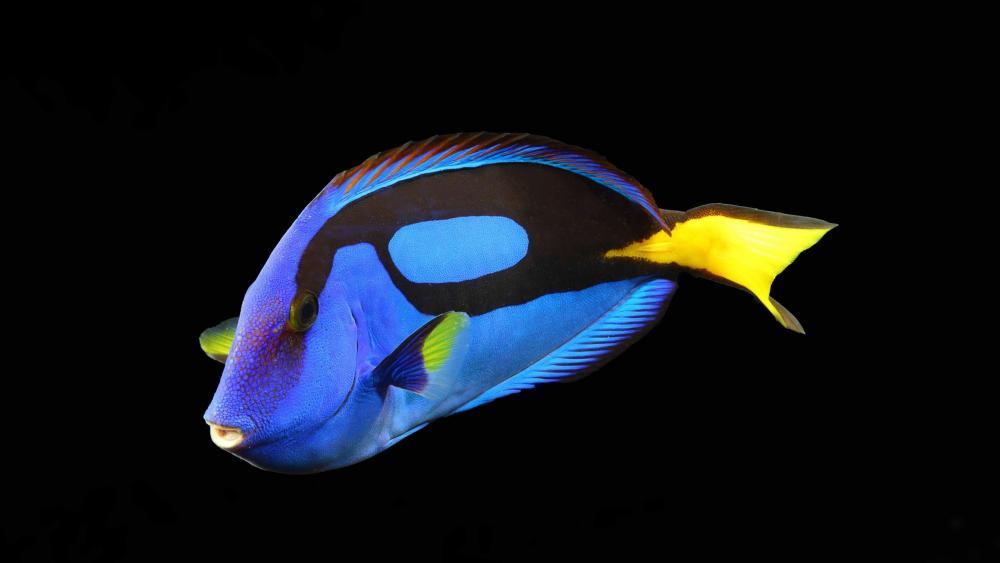 Palette surgeonfish wallpaper