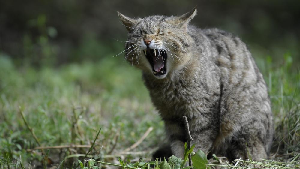 African wild cat yawn wallpaper