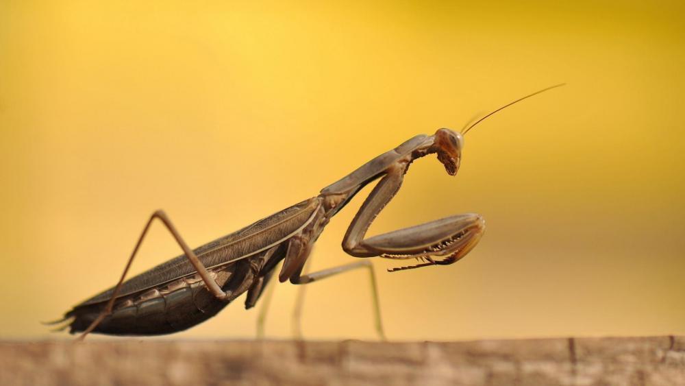 Praying Mantis - Macro photography wallpaper