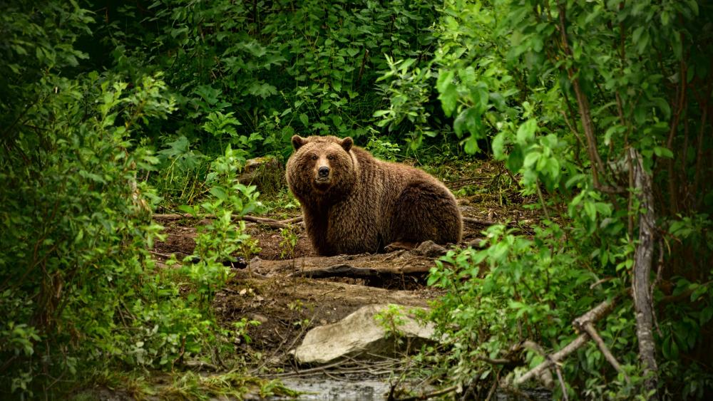 Brown bear in the forest wallpaper