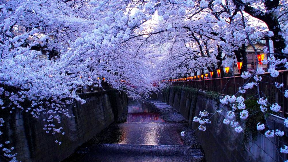 Cherry blossom in Tokyo  wallpaper