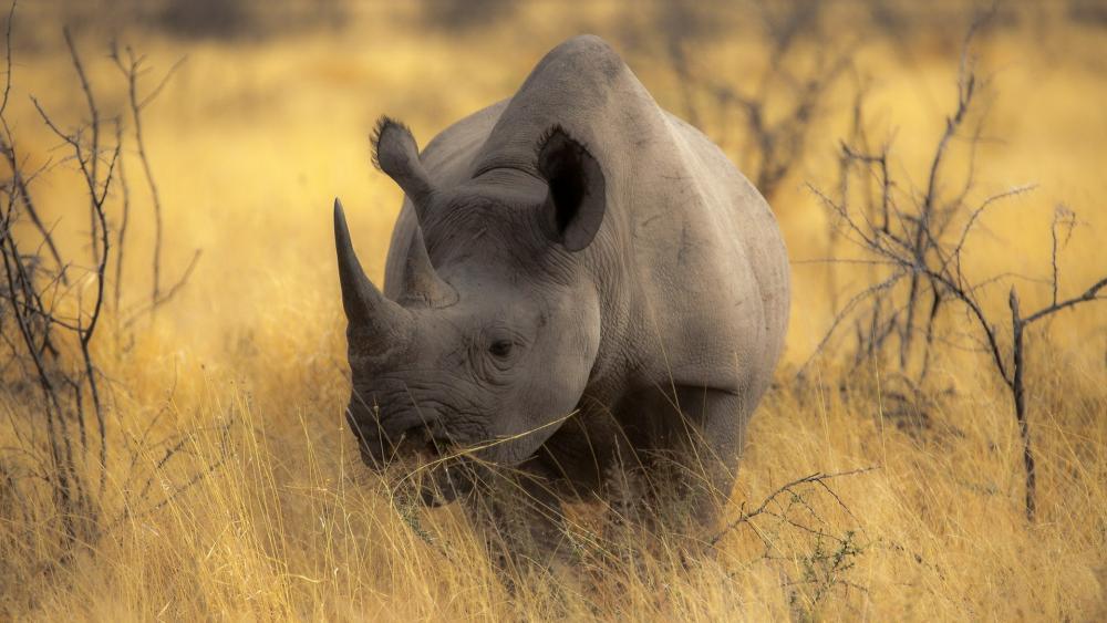 Rhinoceros - Safari in Botswana wallpaper