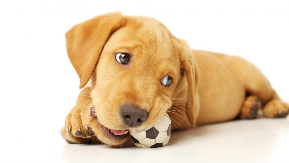 Pointer puppy chewing the ball wallpaper
