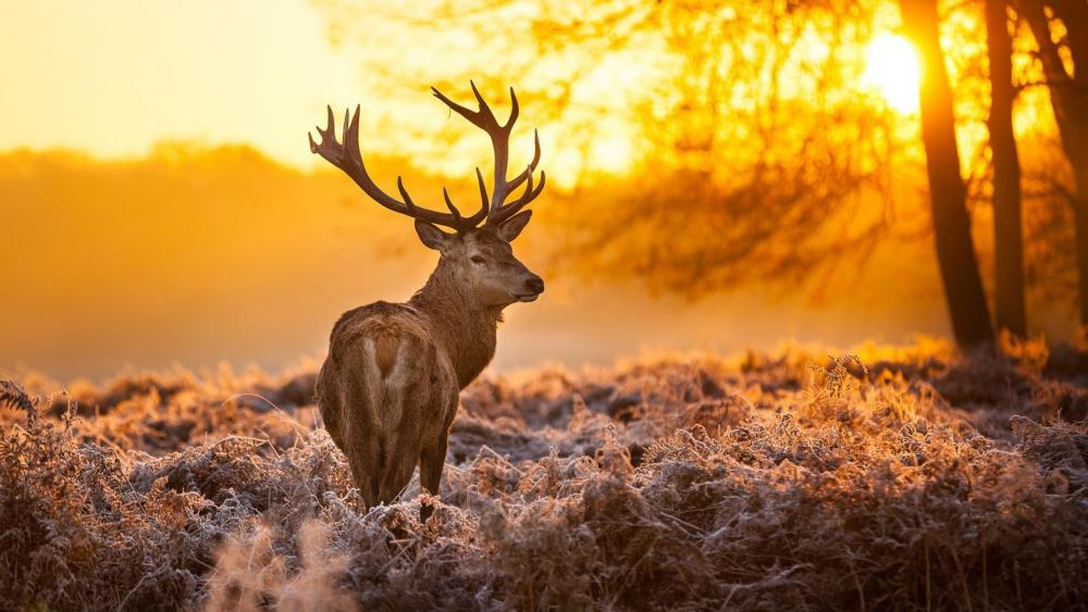 Stag in the morning frost wallpaper