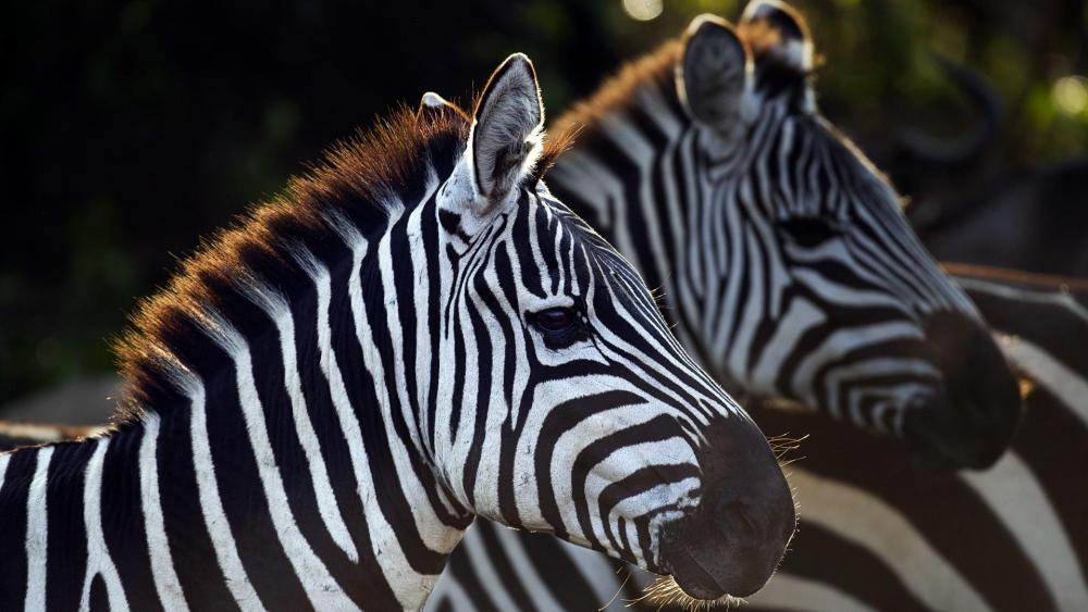 Zebras photo wallpaper