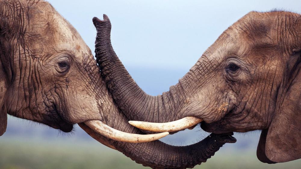 Elephant trunks wallpaper