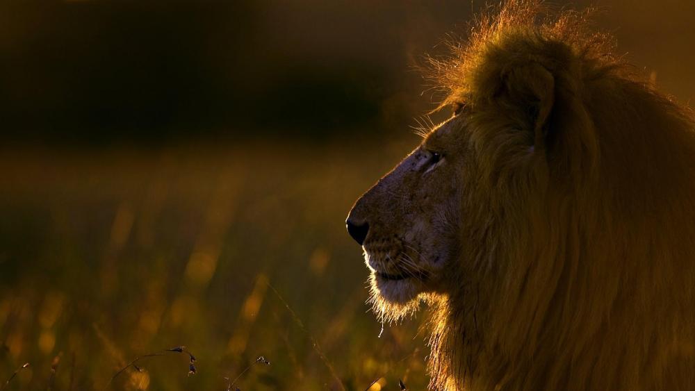 Masai lion in Africa wallpaper