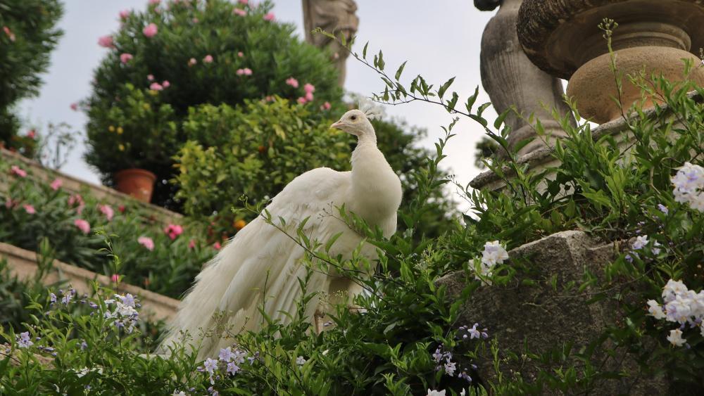 White peacock in the garden wallpaper