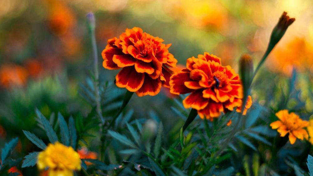 Marigold flowers wallpaper