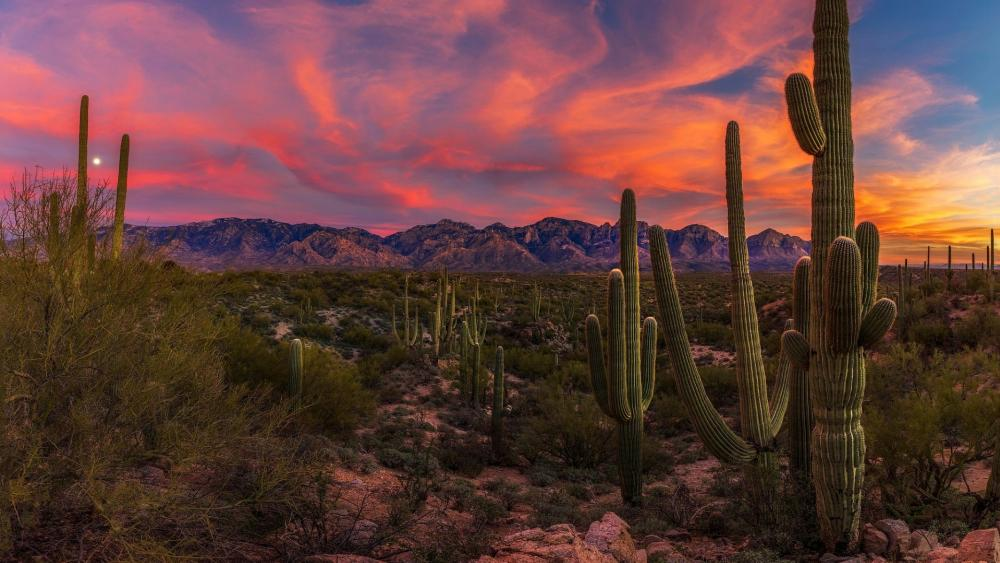 Saguaro Cactus in the Sonoran Desert at sunset - Arizona wallpaper