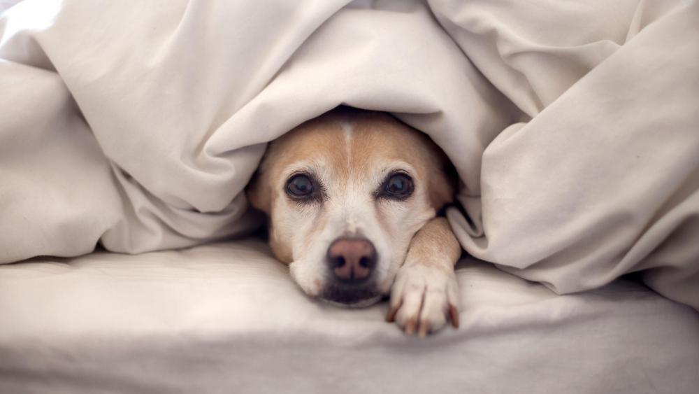 Cute dog hidden in the bedding wallpaper
