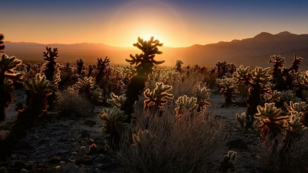 Cholla Cactus Garden at sunrise - Joshua Tree National Park, California wallpaper