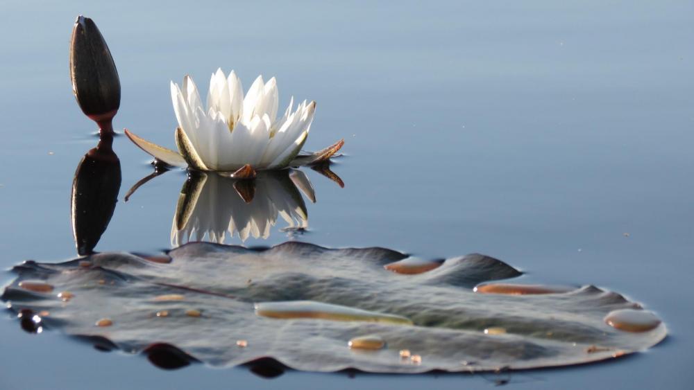 White water lily wallpaper