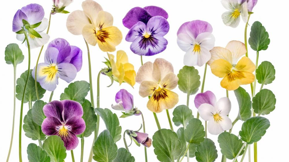 Violet flowers wallpaper