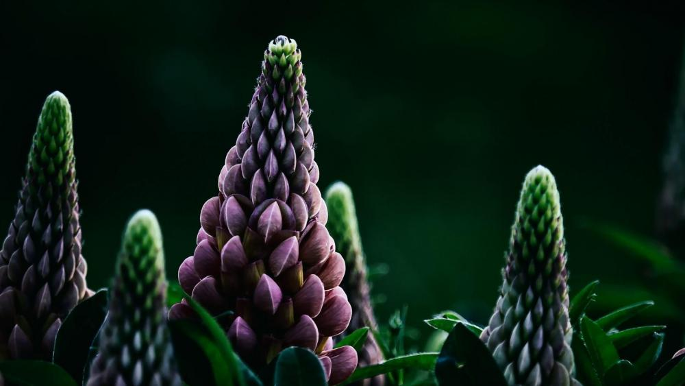 Lupine buds - Macro photography wallpaper