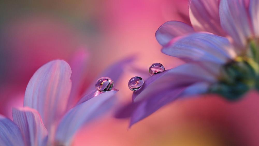 Dew drops on the flower - Macro photography wallpaper