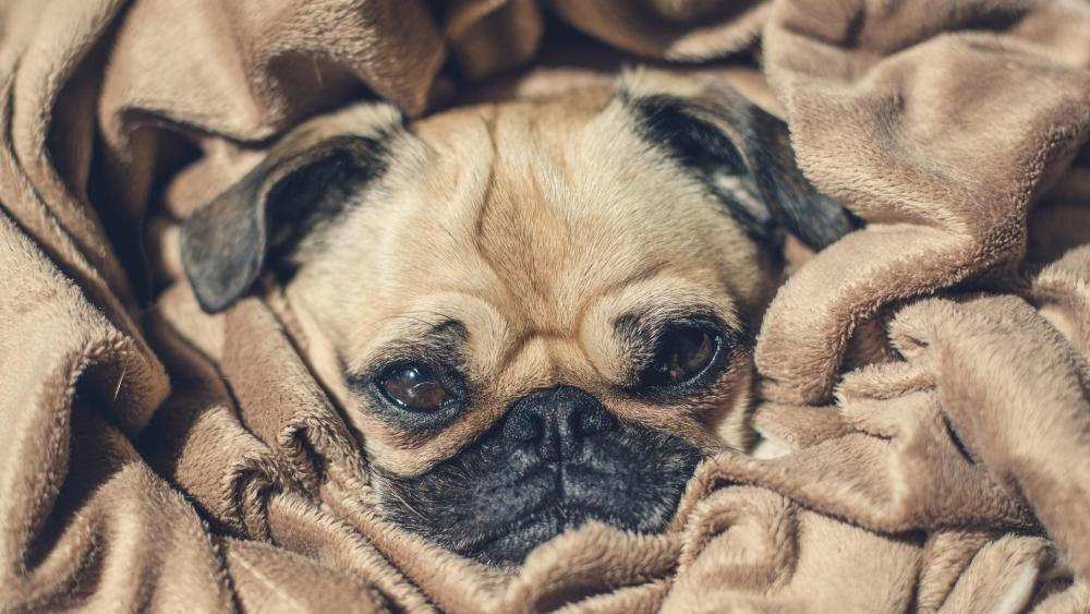 Cute pug dog in a blanket wallpaper