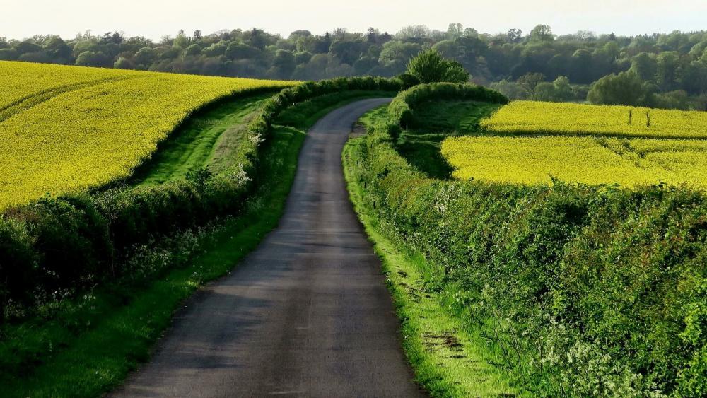 Road in the canola field wallpaper