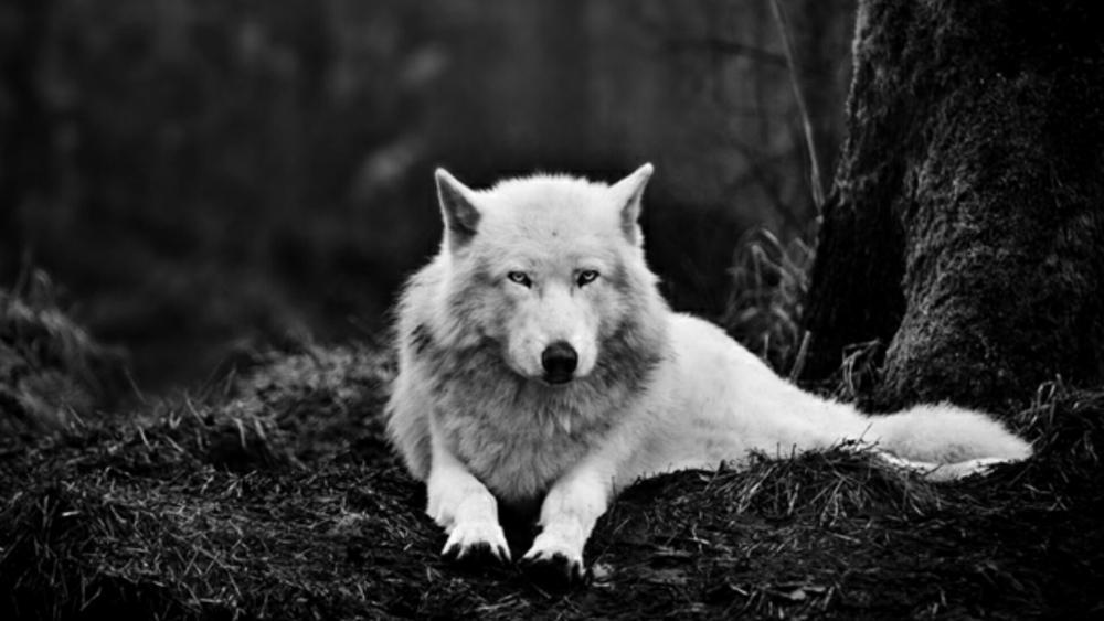 Alaskan tundra wolf (canis lupus tundrarum) - Monochrome photography wallpaper