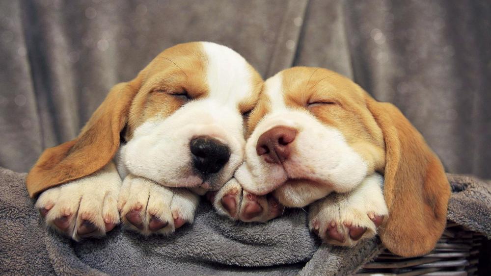 Cute Beagles sleeping wallpaper