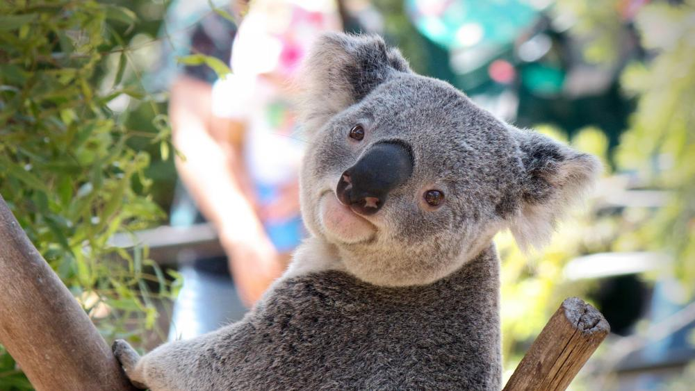 Cute koala wallpaper