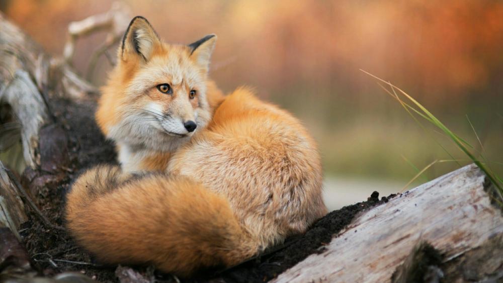 Red fox on the fallen tree wallpaper