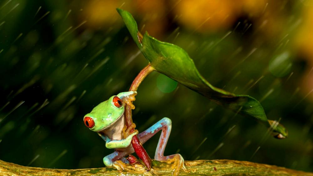 Red-eyed tree frog using a leaf as an umbrella wallpaper