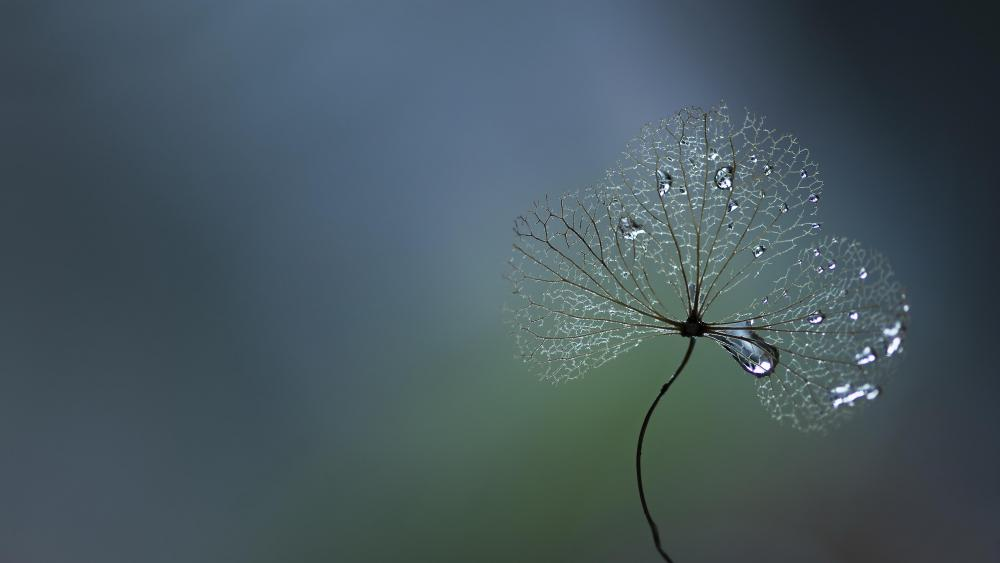 Dew drops on a clover - Macro photography wallpaper