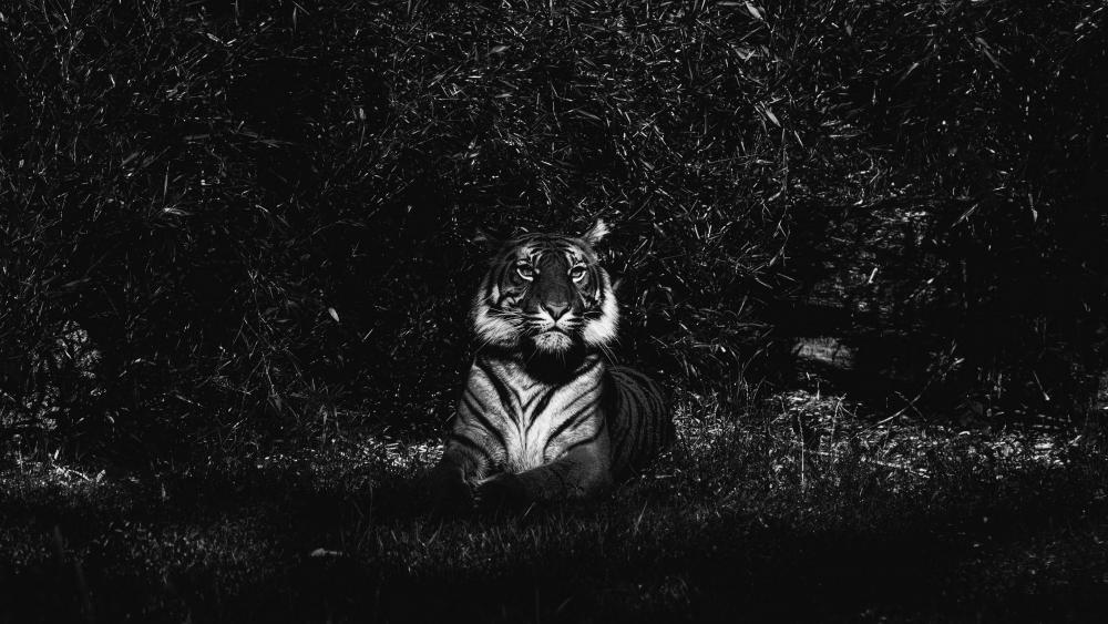 Tiger - Black and white photography wallpaper