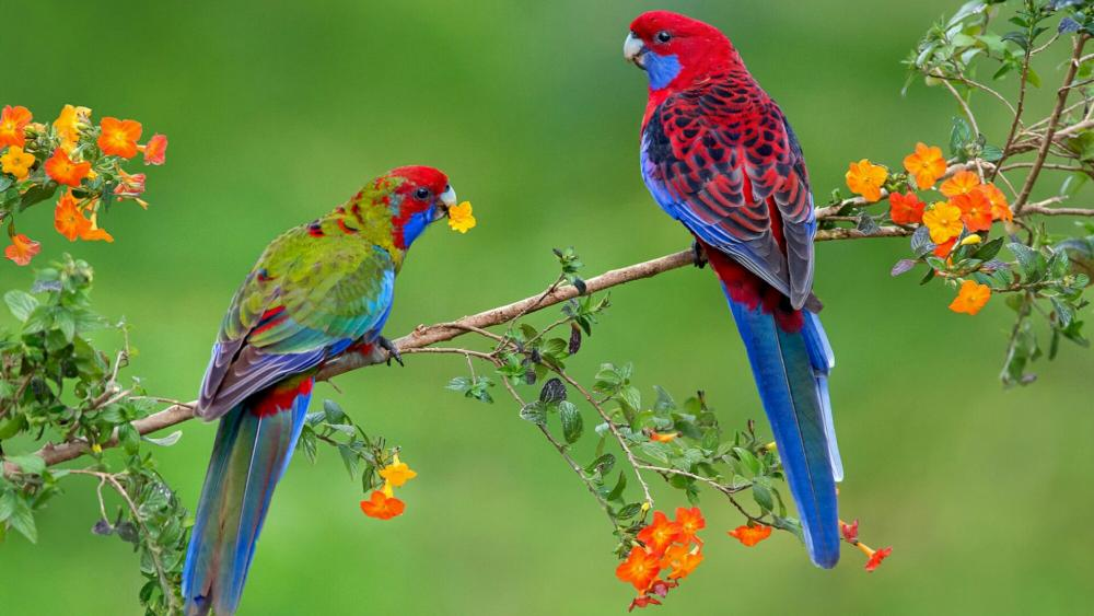 Parrott couple in a branch  wallpaper