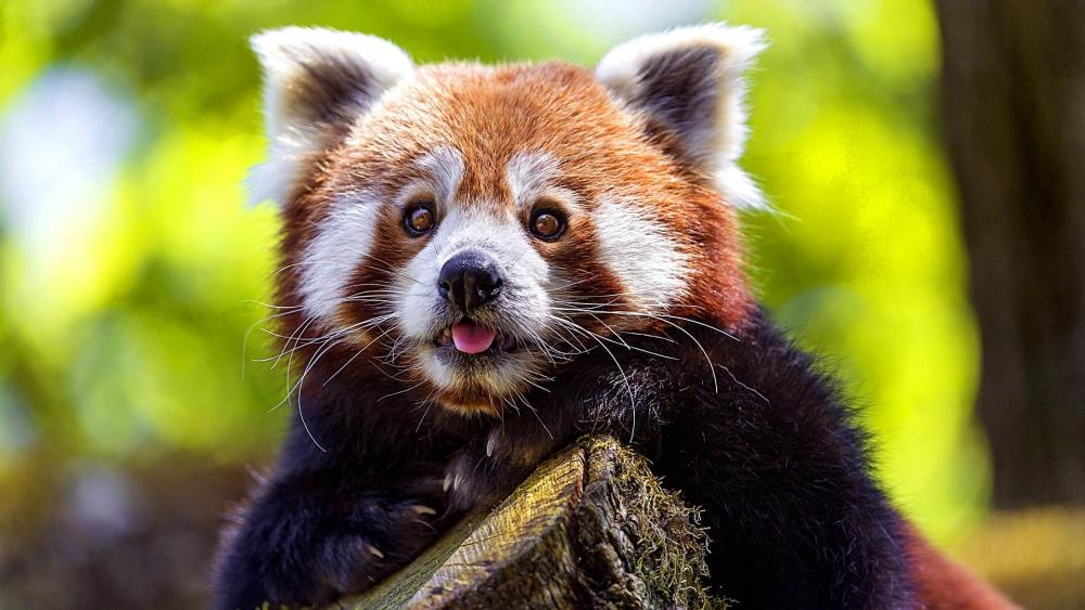 Red Panda Puppy wallpaper