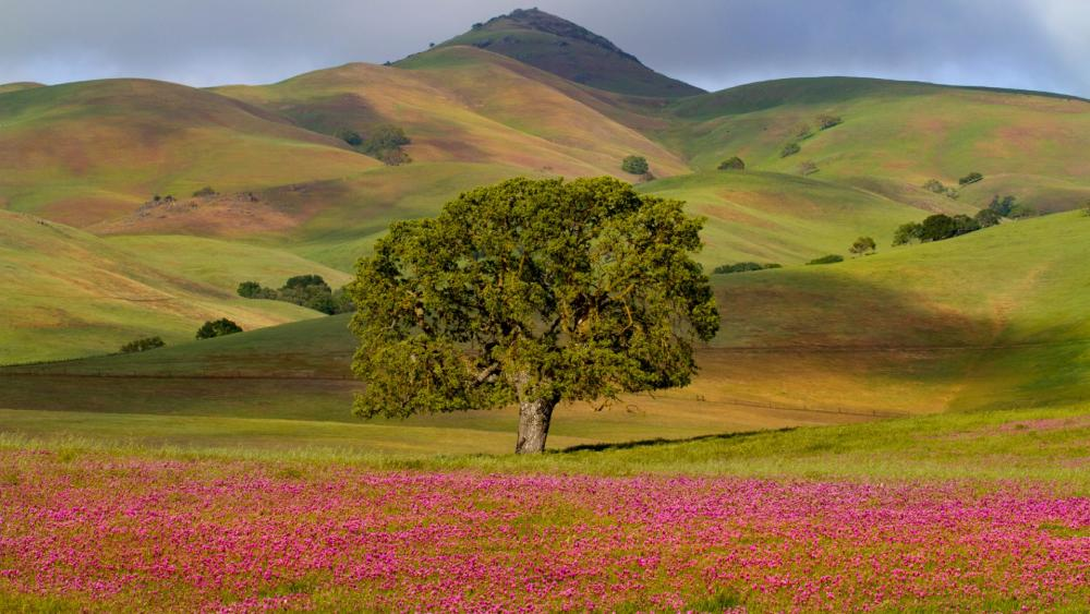 Lone tree at the foothills - Big Sur, California wallpaper