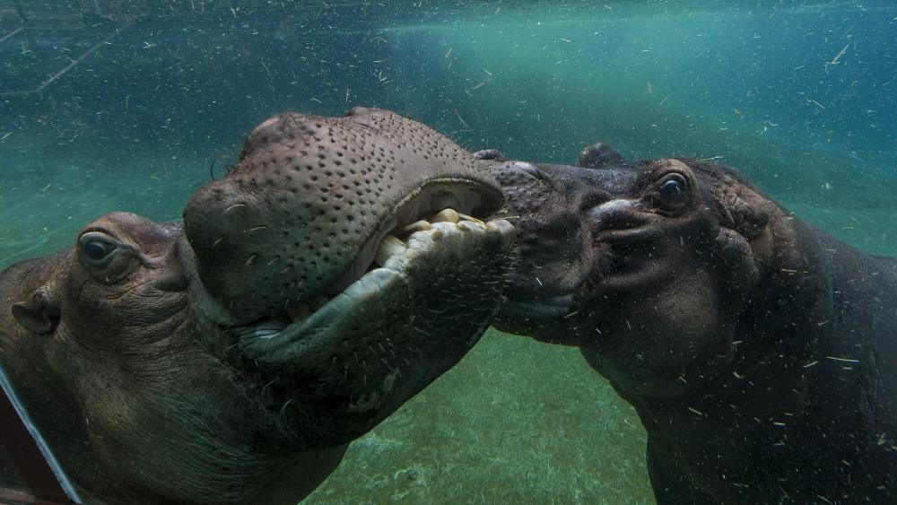 Hippopotamus underwater photography wallpaper