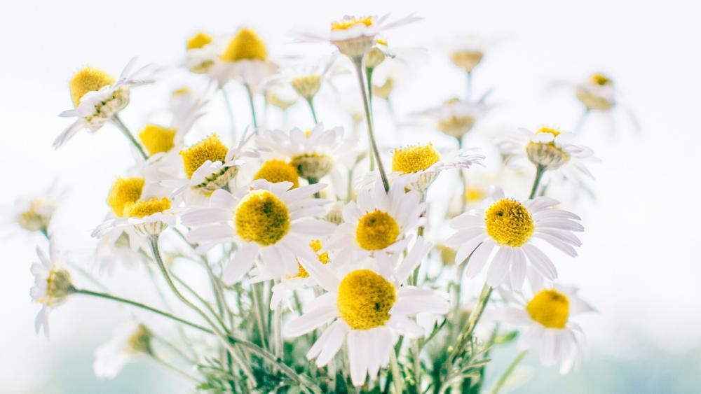 Camomile bouquet  wallpaper