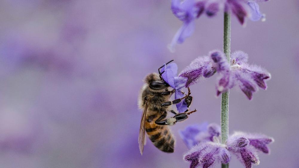 Honey Bee on a purple flower  wallpaper