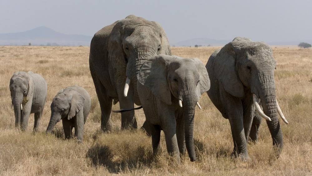 Elephant family - Serengeti National Park, Tanzania  wallpaper