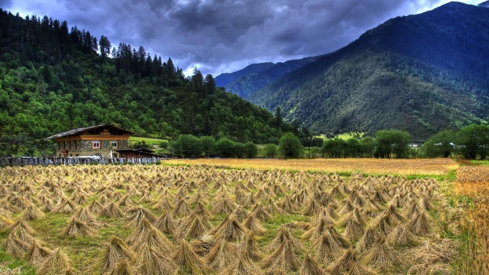 Harvest in Tibet wallpaper