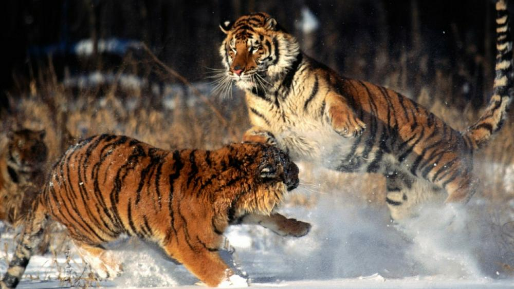 Tiger fight in the snow wallpaper