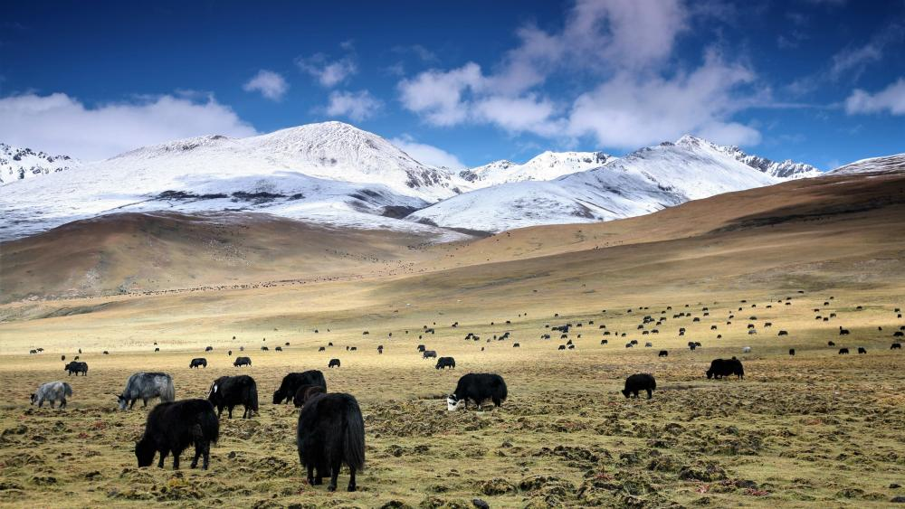 Yak palateau - Mao Wu Prairie, Tibet wallpaper