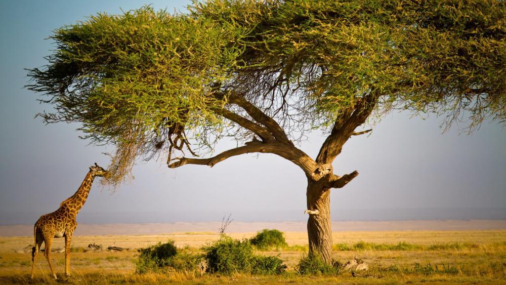 Masai Mara National Reserve - Kenya, Africa wallpaper