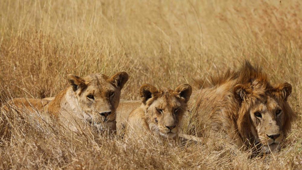 Serengeti orphan lions wallpaper