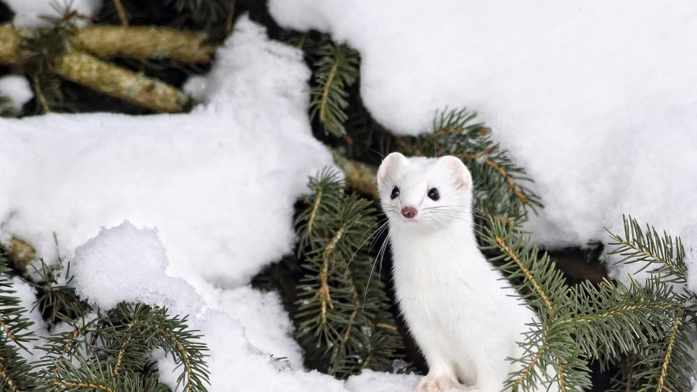 Ermine in the snow wallpaper