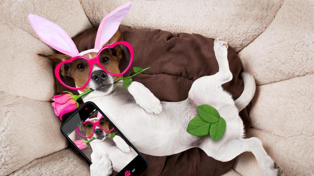 Funny Jack Russell Terrier in fancy dress wallpaper