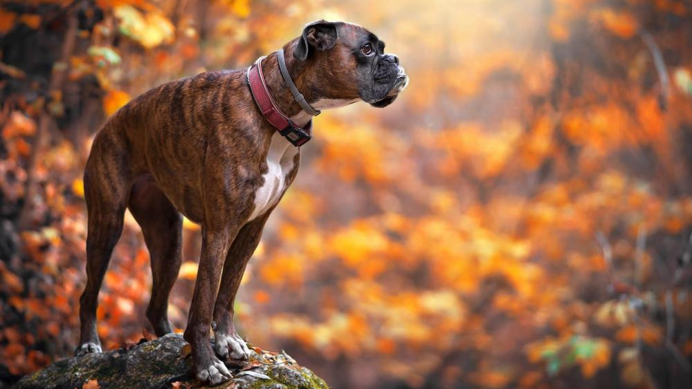 Boxer in autumn forest wallpaper