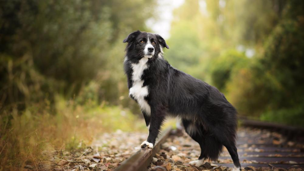 Border collie in the forest wallpaper